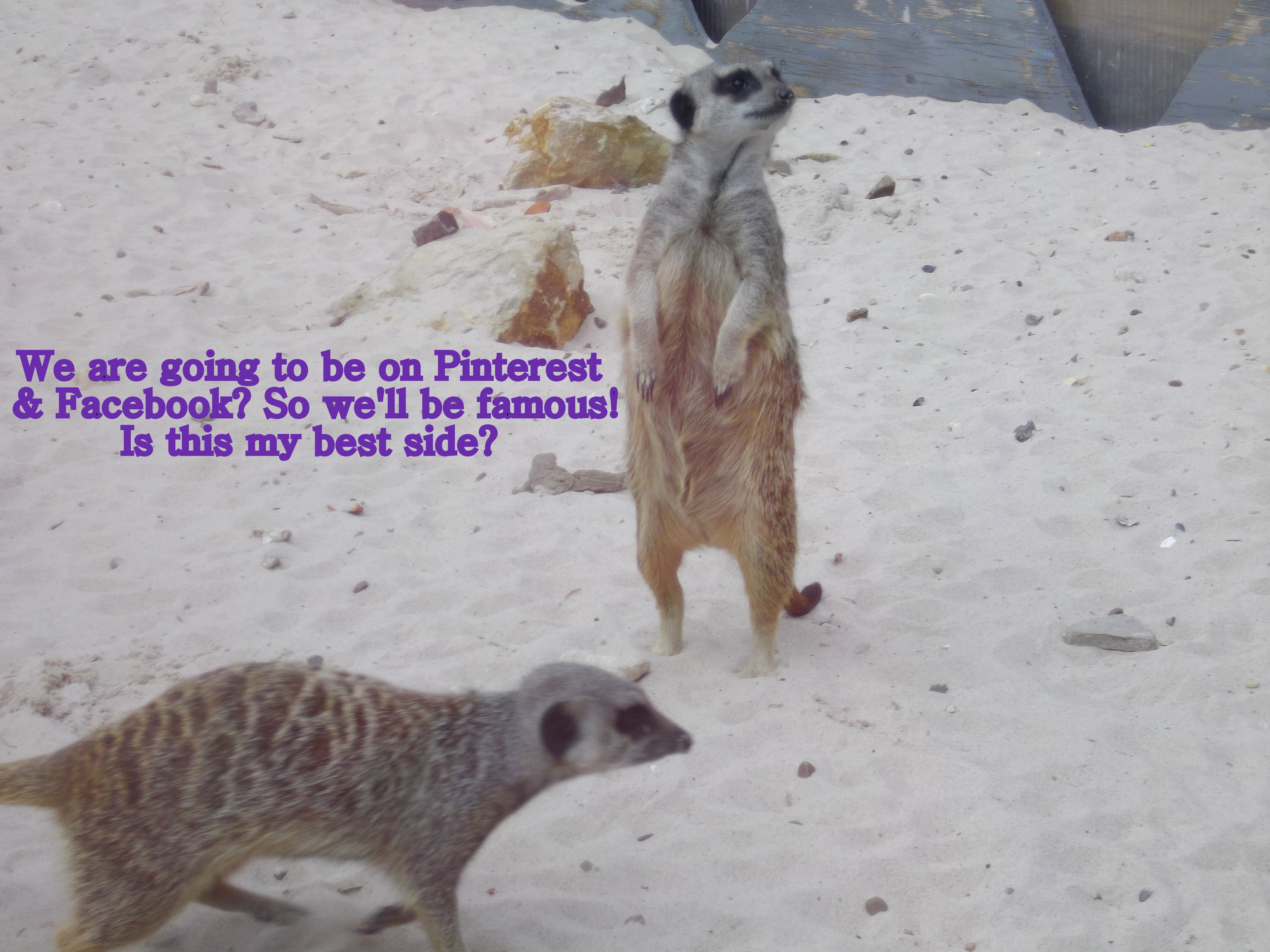 Meercats - using images in blog posts